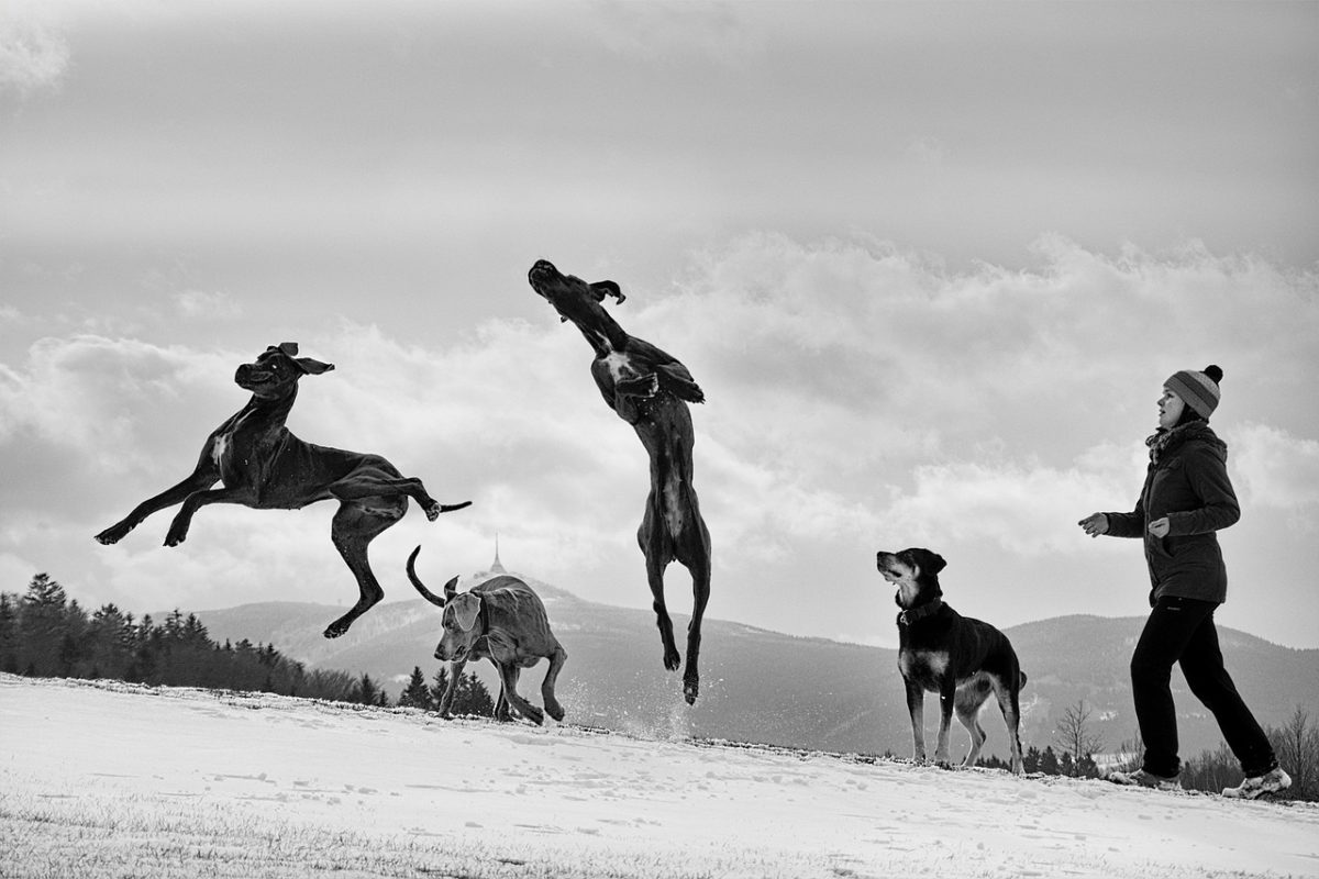 Great Danes: 7 Quick Dog Breed Facts